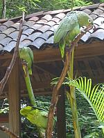 Macaw Mountain - Green Parrots